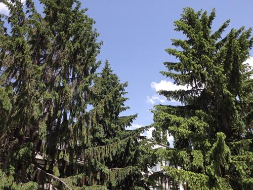 тельца деревья покровители